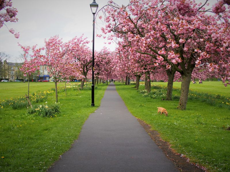 the stray harrogate in spring time