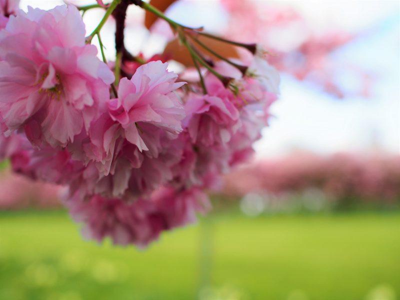 the harrogate girl blossom flowers