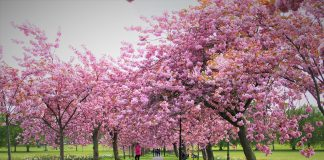 Blossom trees in Harrogate