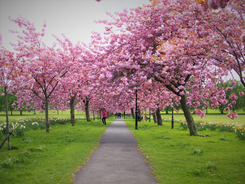Blossom trees in Harrogate